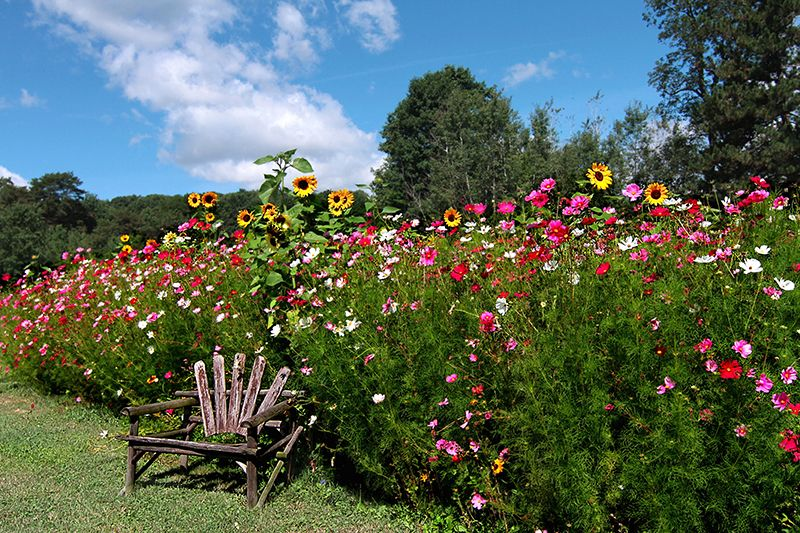 Plant Cosmos And Sunflowers In June For Blooms All The Way Into Fall Wildflower Garden Cosmos Flowers Garden Images