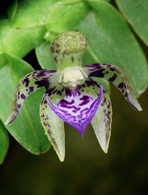 Dichaea cryptarrhena by Daniel-CR, via Flickr