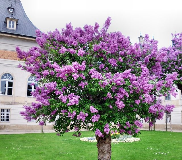 Free Image On Pixabay Lilac Tree Common Lilac Lilac Tree Flowering Trees Myrtle Tree
