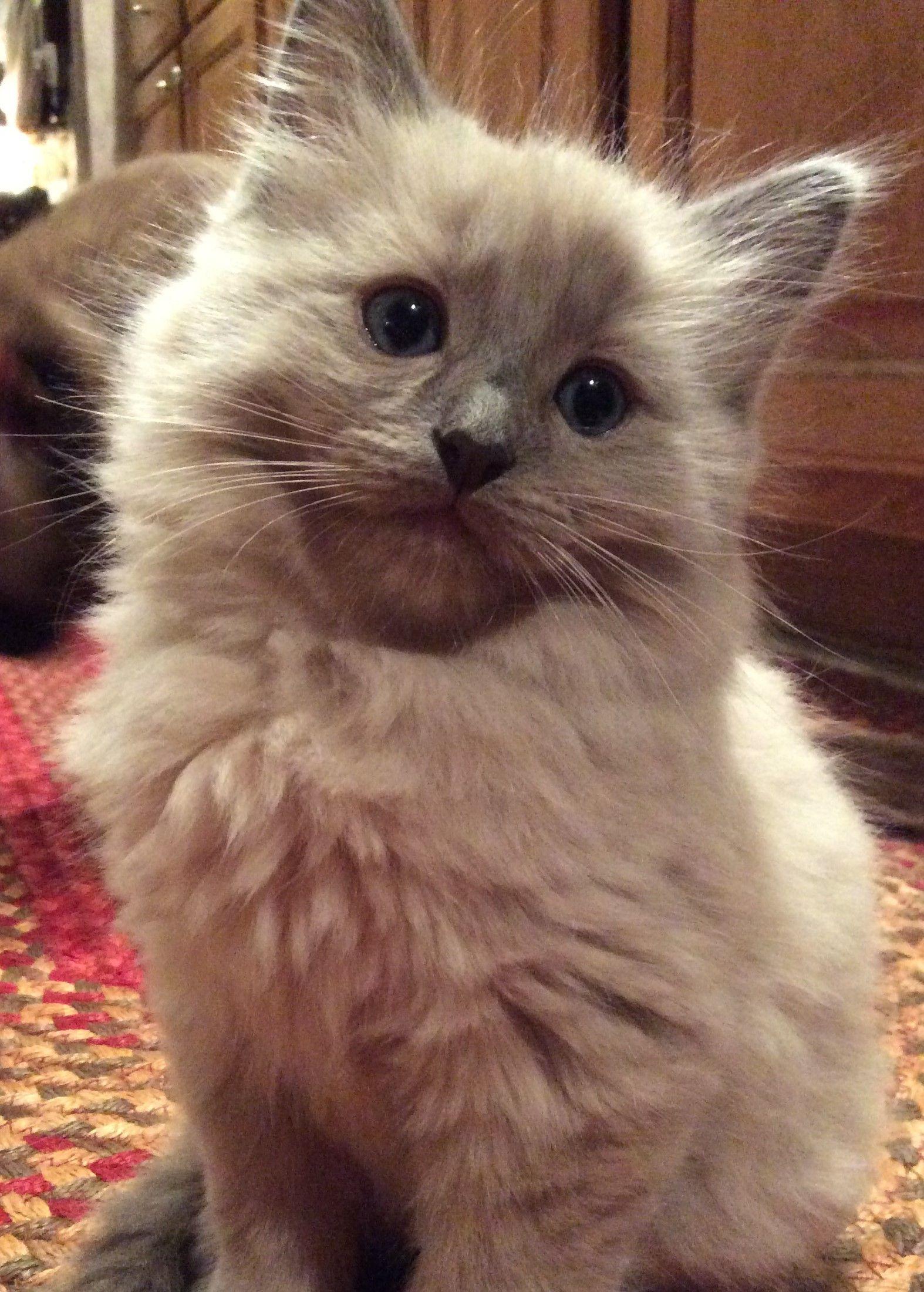 Ragdoll Kittens Ragdoll Kitten Cute Cats Cute Animals