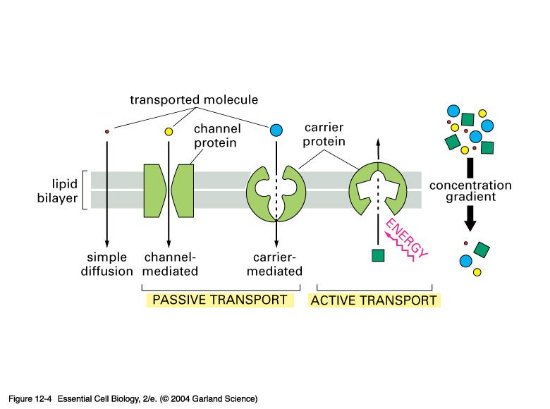 Comparison of passive and active transport biology – Active Transport Worksheet