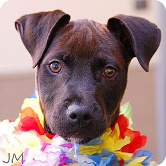 08 28 13 Gigi Pet Id A553584 Is An Adoptable American Pit Bull