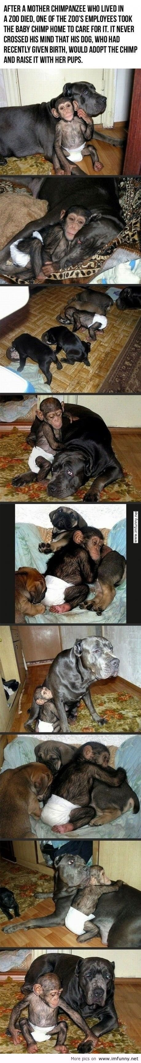 Orphan chimpanzee found a great new home and devoted, but unexpected parent comfort http://ow.ly/lx81E #LoveNature