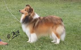Image result for Shelties,Holland