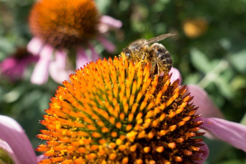 Bee covered in pollen Plants, Garden, Garden plants