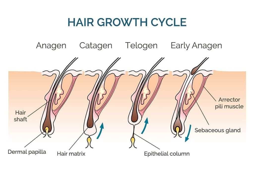 barber shave diagram palmate leaf of beard growth - wiring circuit