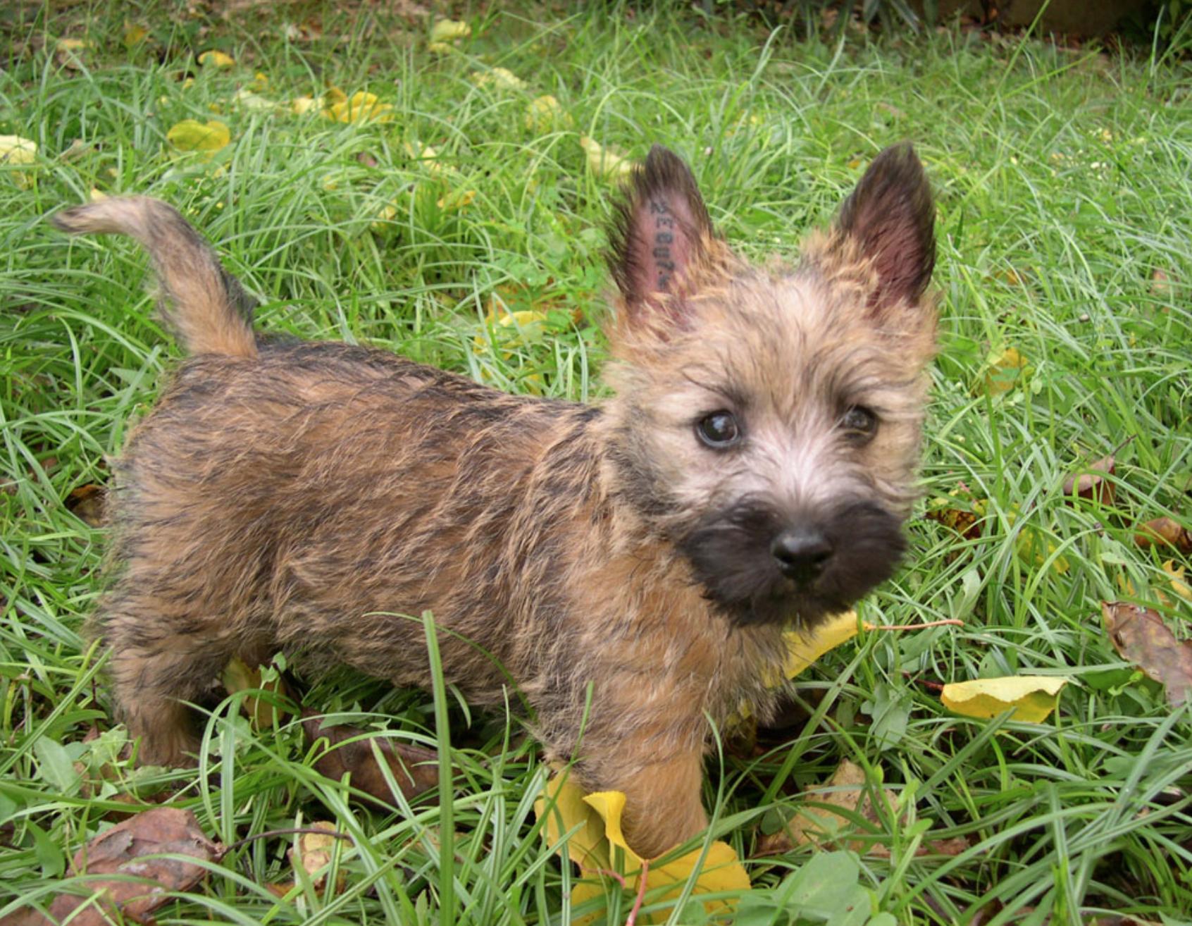 Cairn Terrier 3 Months Old Cairn Terrier Puppies Cairn Terrier Terrier Puppies