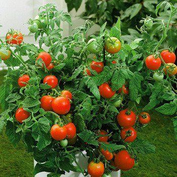 Tomato Better Boy Bountiful Plants