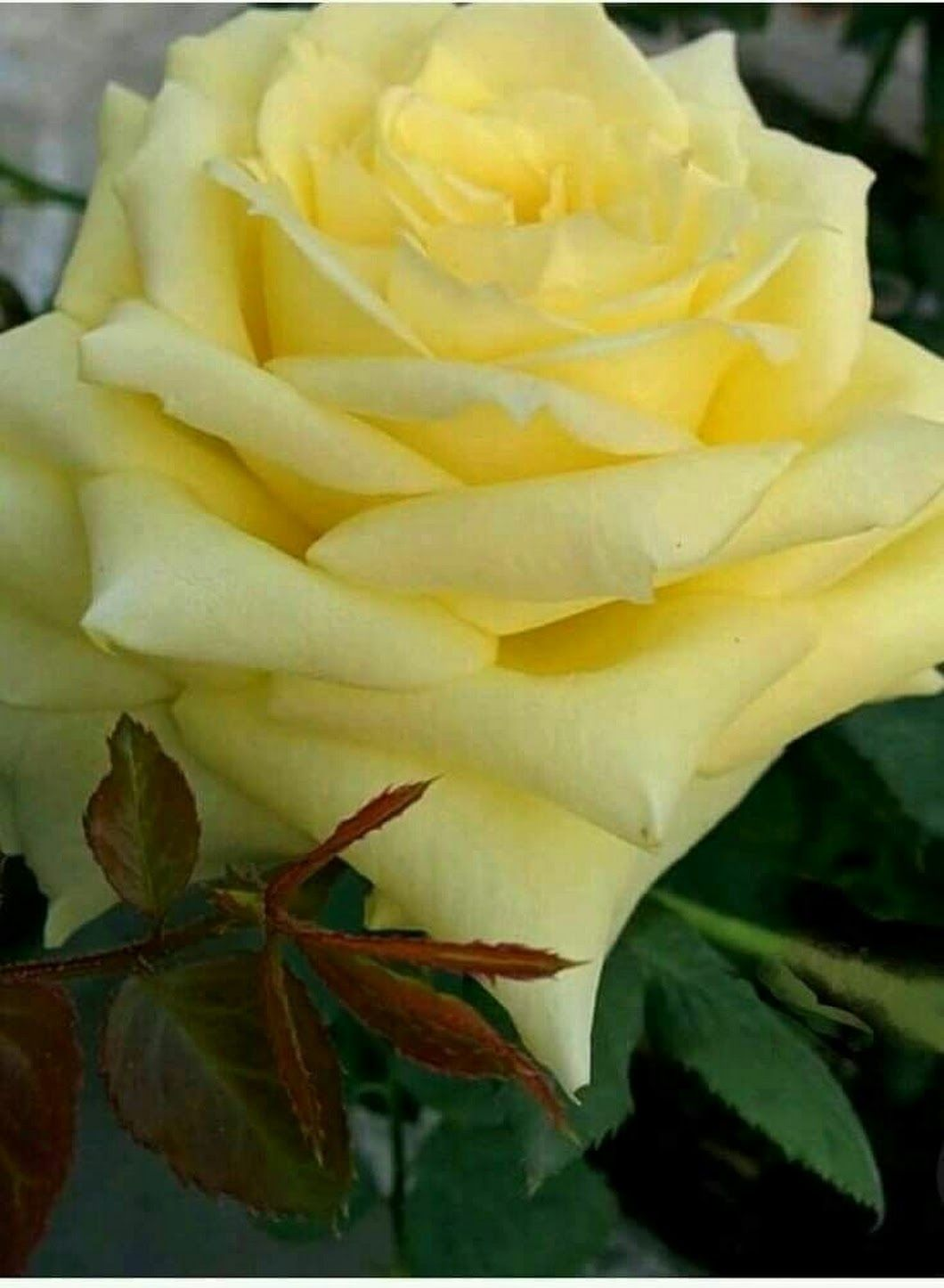 Pale Yellow Flowers Yellow Roses Rose