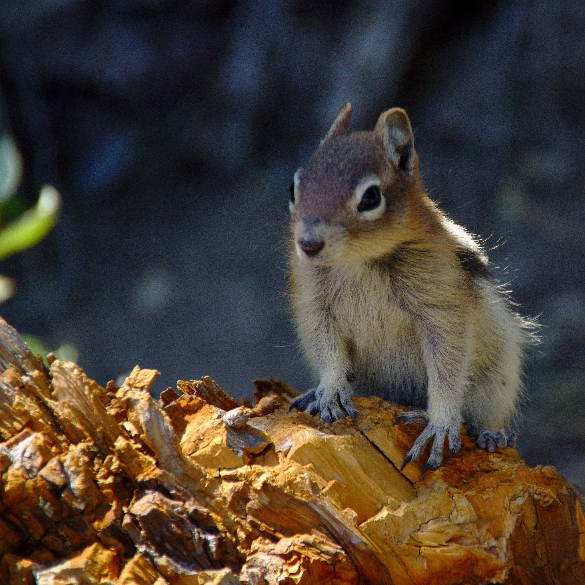 Cascade Golden Mantled Ground Squirrel Spermophilus Saturatus Waterton Lake Park Canada Lake Park Ground Squirrel Squirrel