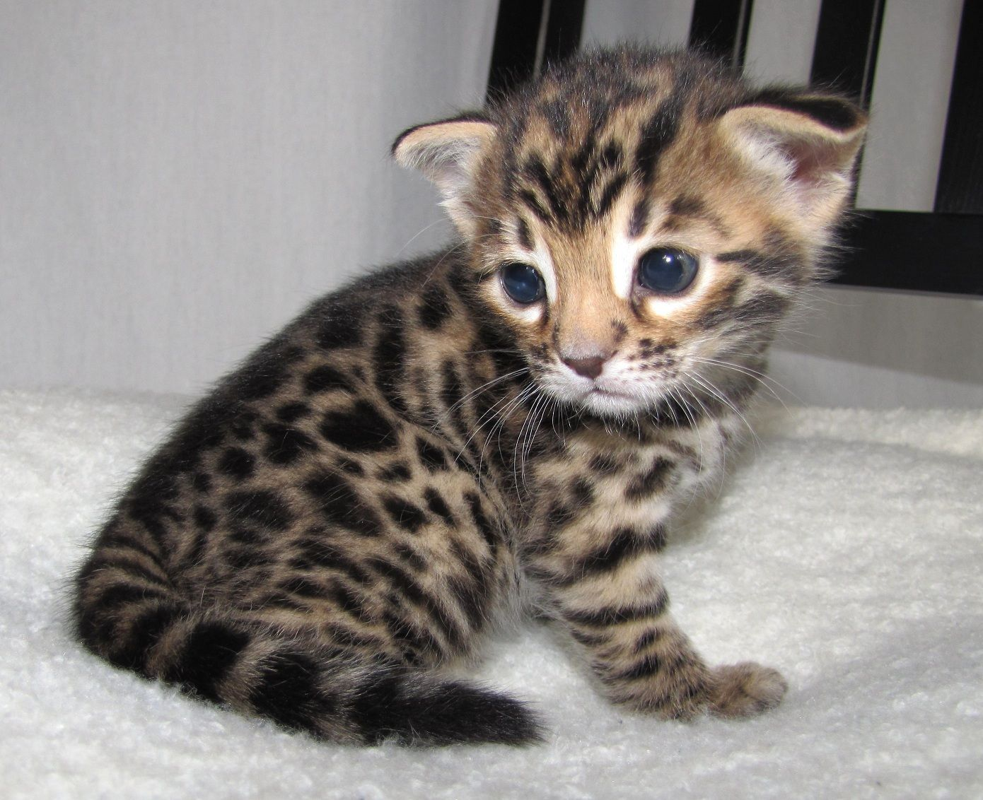 bengal kitten i just d Cats Pinterest