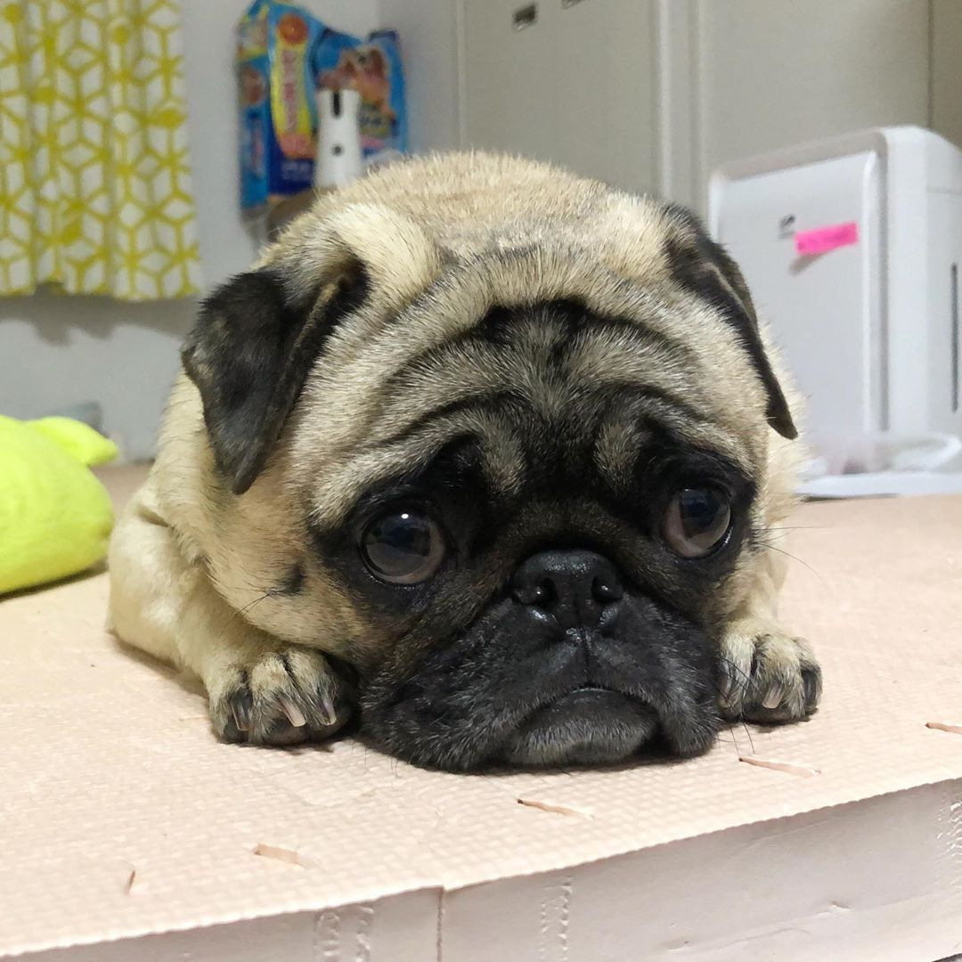 Cute Pugs By Chihuahua Baby On Tdm Pugs Cute Baby Animals Pugs