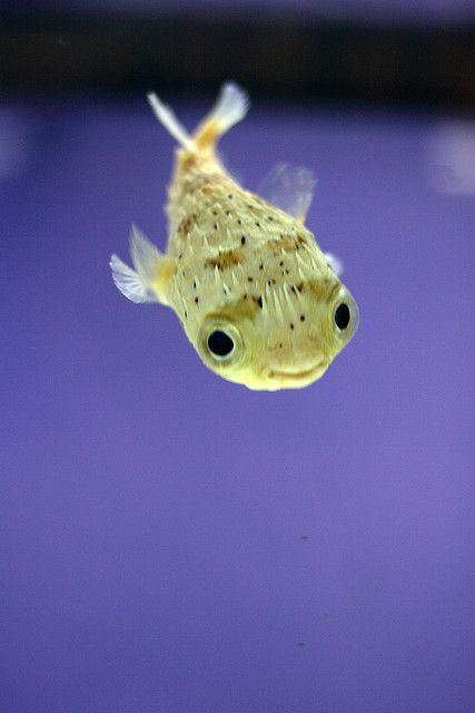 Baby Porcupine Puffer Fish Google Search Cute Fish Cute Baby Animals Cute Little Animals