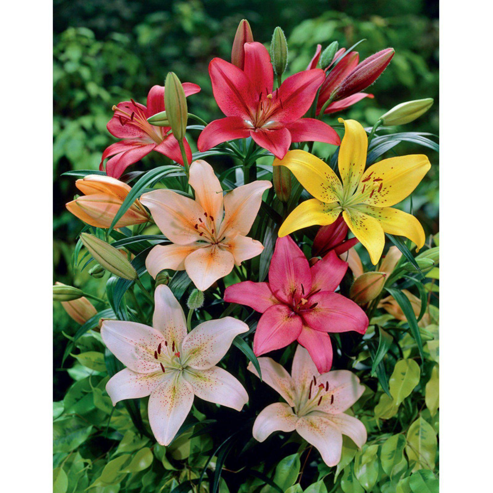 Van Zyverden Lilies Dutch Asiatic Mixture Bulbs Set Of 7 Bulb