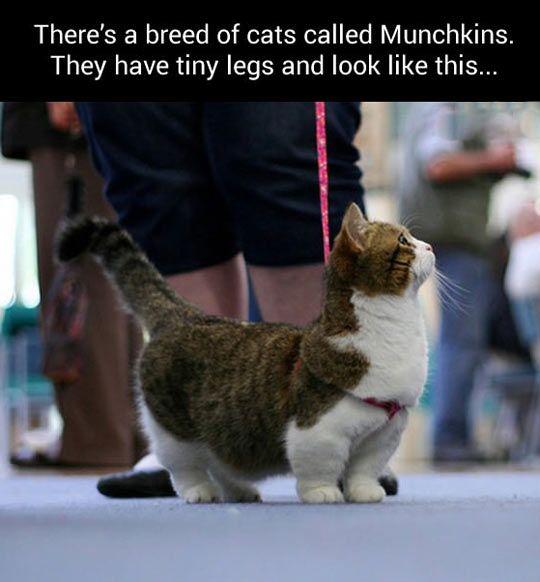 Munchkitten!