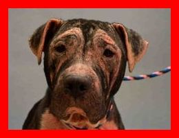 SAFE 9-20-2015 --- SUPER URGENT Manhatan Center CASHMERE – A1051584  FEMALE, BLACK, AM PIT BULL TER MIX, 6 yrs OWNER SUR – EVALUATE, NO HOLD Reason PERS PROB Intake condition EXAM REQ Intake Date 09/15/2015 http://nycdogs.urgentpodr.org/cashmere-a1051584/