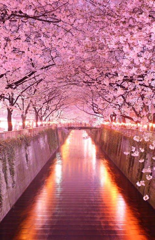 Arbre rose sakura pinterest arbres roses fleur de cerisier et roses - Arbre rose japon ...