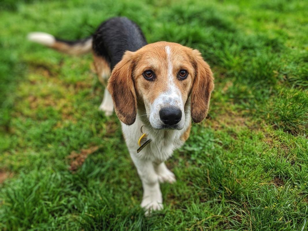 Adopt A Dog Bertie Basset Hound Dogs Trust Dogs Trust Dogs