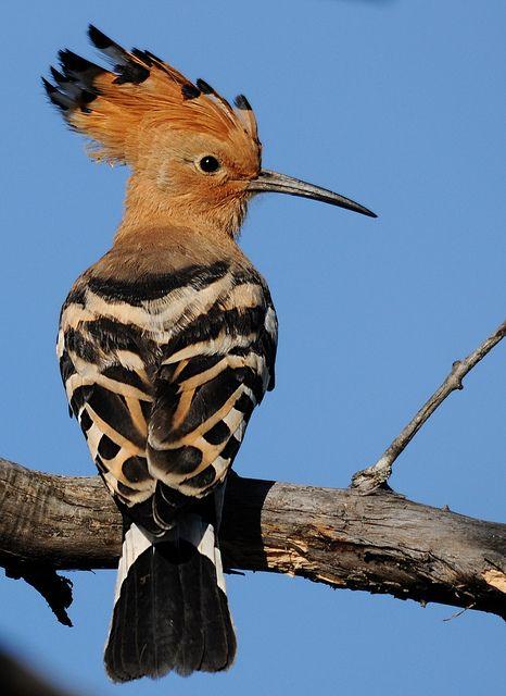 Image result for Eurasian hoopoe pic
