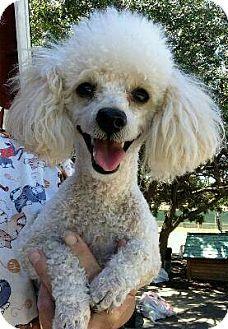 Pin By Lisa Sarrett On Poodles Poodle Pets Pet Adoption