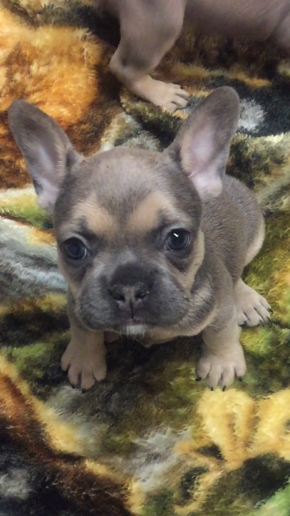 Little French Bulldog On The Prairie French Bulldog Puppies Cute Animals Bulldog Puppies