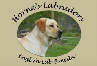 Horne S Labrador Breeders Akc British English Lab Puppies Jacksonville Florida Lab Puppies English Lab Puppies Lab Dogs