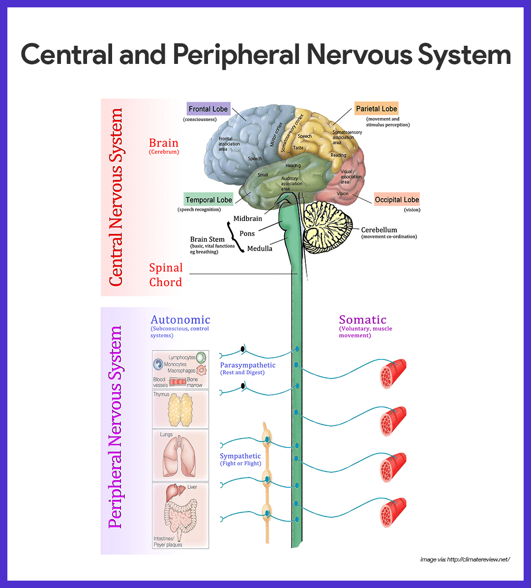 Nervous System Anatomy and Physiology | Nursing School and ... | 1080 x 1196 png 161kB