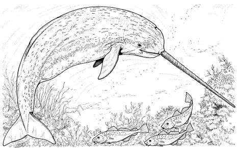 Arctic Narwhal Coloring Page Gif 465 291 Pixels Whale Coloring Pages Animal Coloring Pages Ocean Coloring Pages