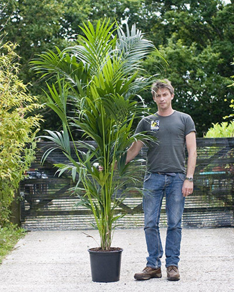 Howea Forsteriana Kentia Palm Kentia Palm Palm House 400 x 300