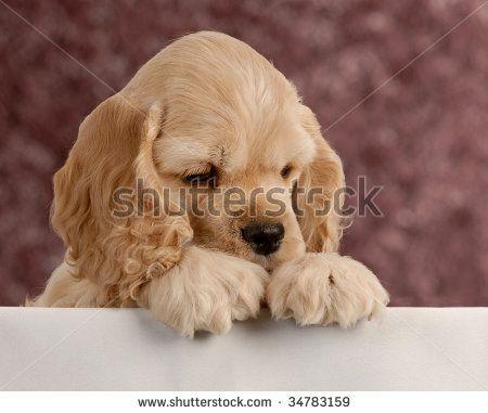 Looks Like My Baby Chew When He Was Little Cocker Spaniel Puppies American Cocker Spaniel Cute Puppies