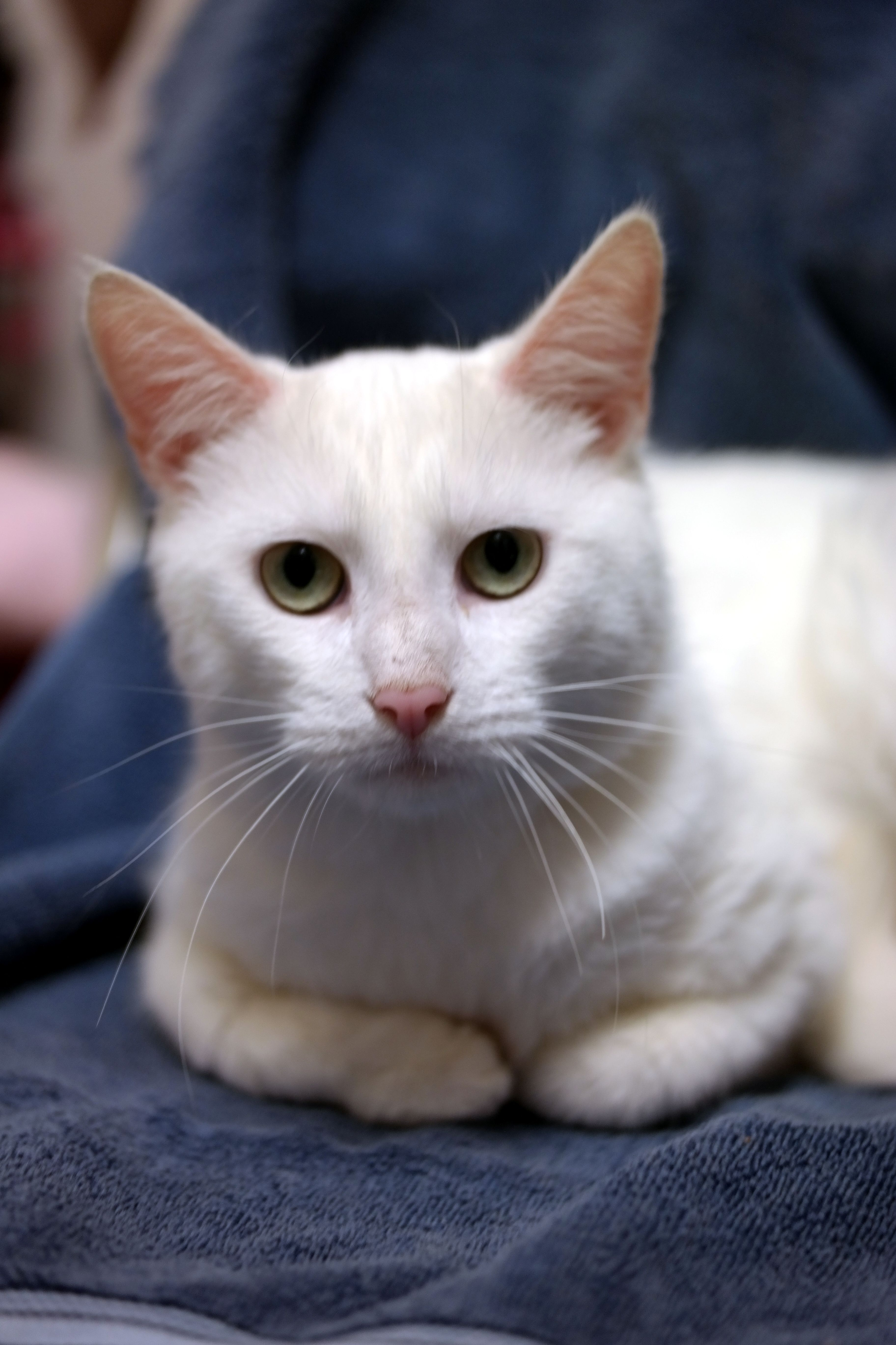 b191742c19 Blizzard is an adoptable Cat - Turkish Angora Mix searching for a forever  family near Warren