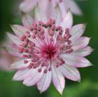 Astrantias are great border plants and come in shades of white, pink and burgundy-red