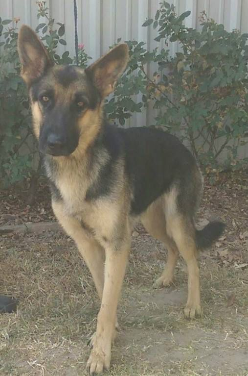 Sosha Is A 2 3 Year Old Female German Shepherd Looking For Her