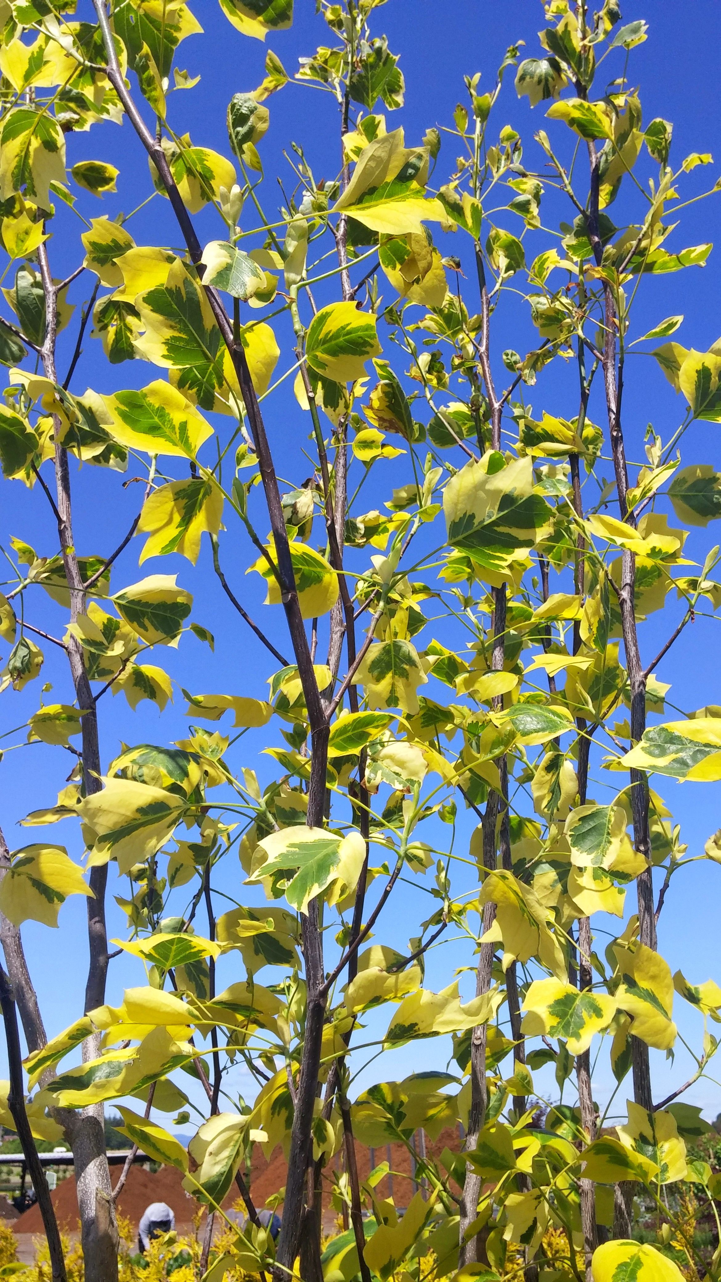 Majestic Beauty® Tulip Tree - Beautiful large garden tree gives ...