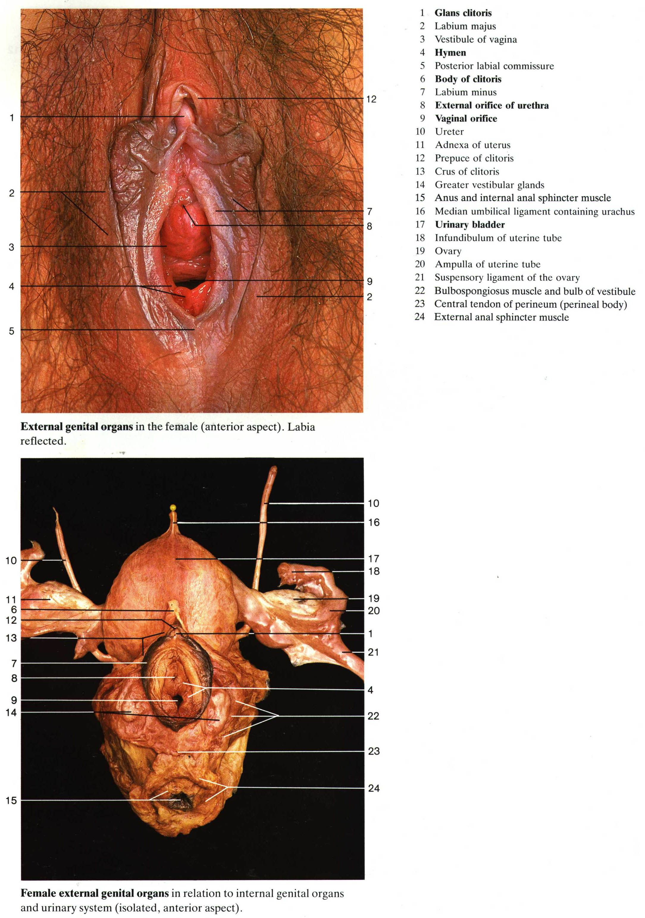 Real Female Anatomy Pictures Human Anatomy Drawing Pinterest