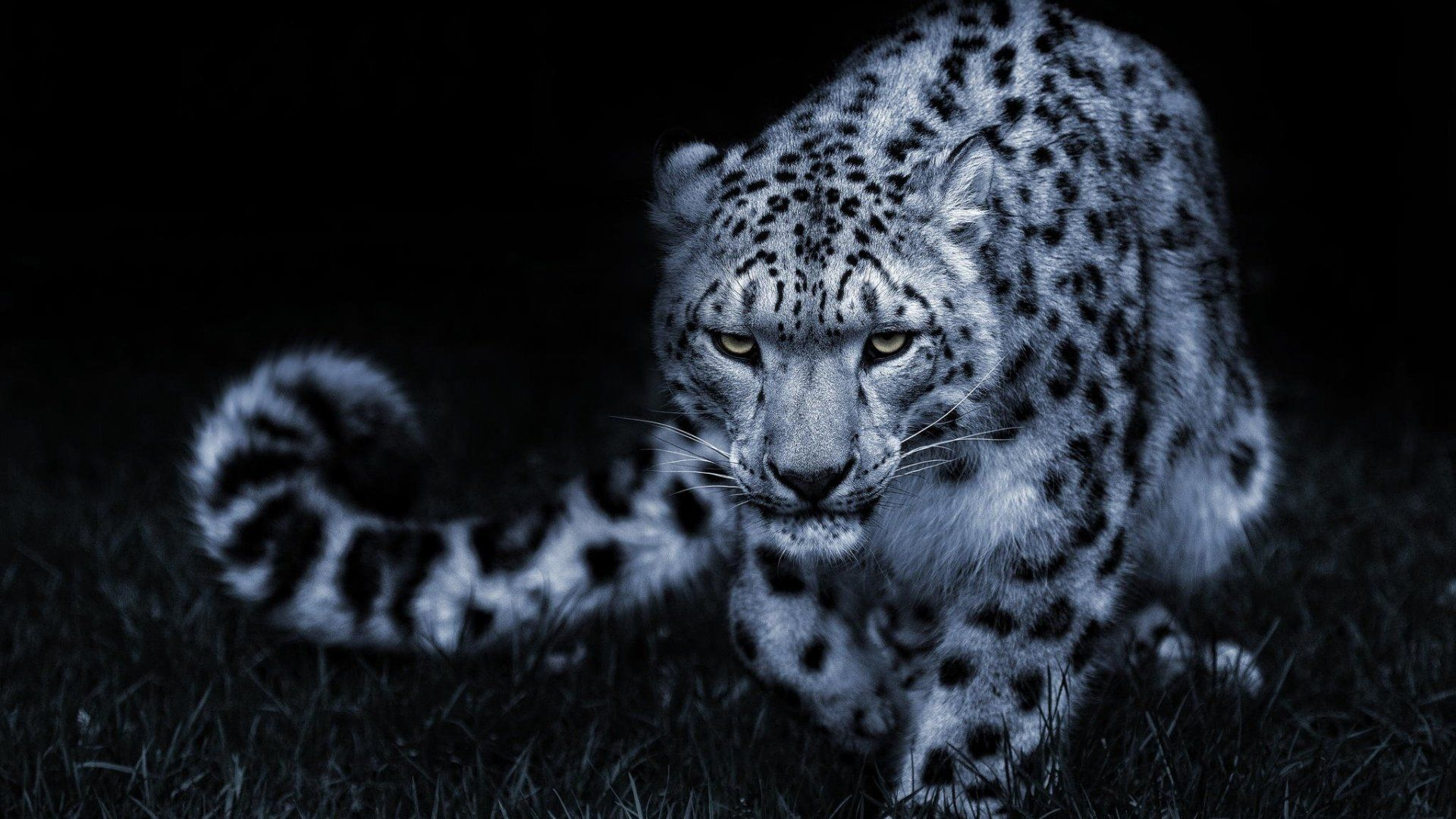 Amazing White Leopard 2020 Live Wallpaper Hd Snow Leopard Wallpaper Leopard Wallpaper Snow Leopard