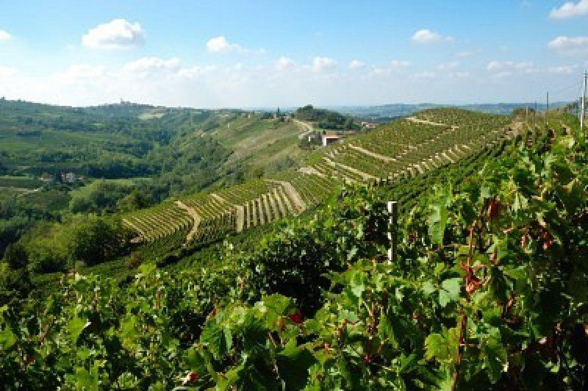 Vineyard, Barbaresco