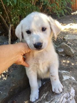 Litter Of 6 Goberian Puppies For Sale In Saratoga Ca Adn 32067