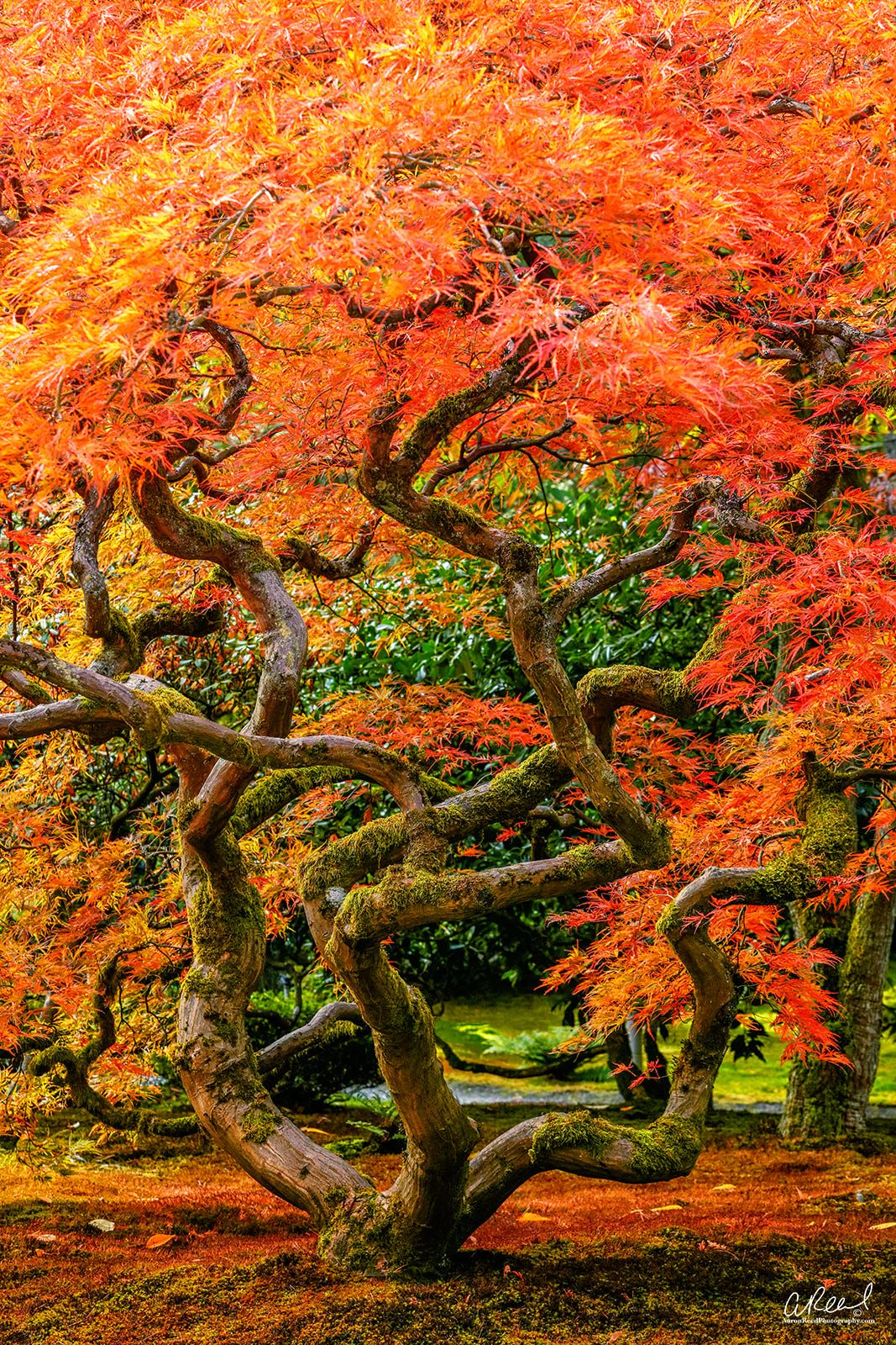 Seattle Japanese Maple by AaronReedPhotography on 500px