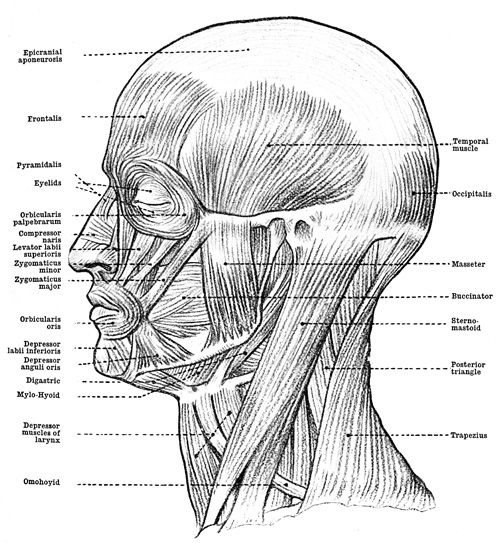 anatomy: human muscles of the face, head, and neck. these muscles, Muscles