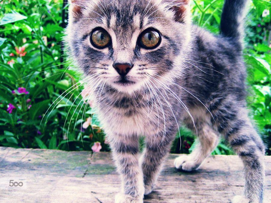 Curious grayboy by alenak07. For more photos: http://photos-cats-kittens.tumblr.com