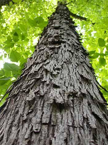 Shagbark Hickory Carya Ovata Hickory Tree Deciduous Trees Tree