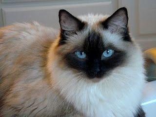 Such A Pretty Kitty Ragdoll Cat Breed Pretty Cats Cat Species