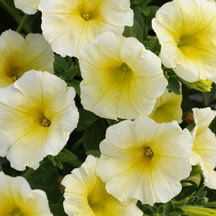 Sun Spun Yellow Petunia Full Ball Shaped Plants Loaded With 2 Inch Yellow Flowers A Novelty Petunia In An Interesting Irresis Petunias Plants Annual Plants