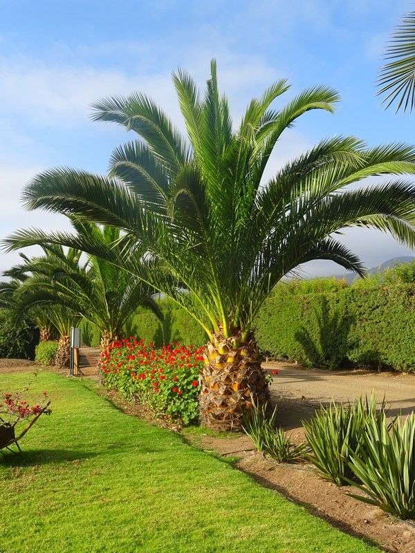 m_Palmera-Phoenix-Palma-Datilera-Jardin-Los-Agapantos-La-Serena ...