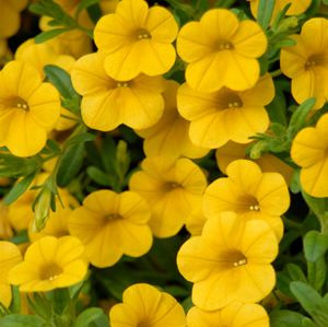 The Million Bells Mounding Neon Yellow Calibrachoa plant will contend with the biggest and brightest jonquils. This flower produces massive amounts of five-petal, deep yellow blossoms.
