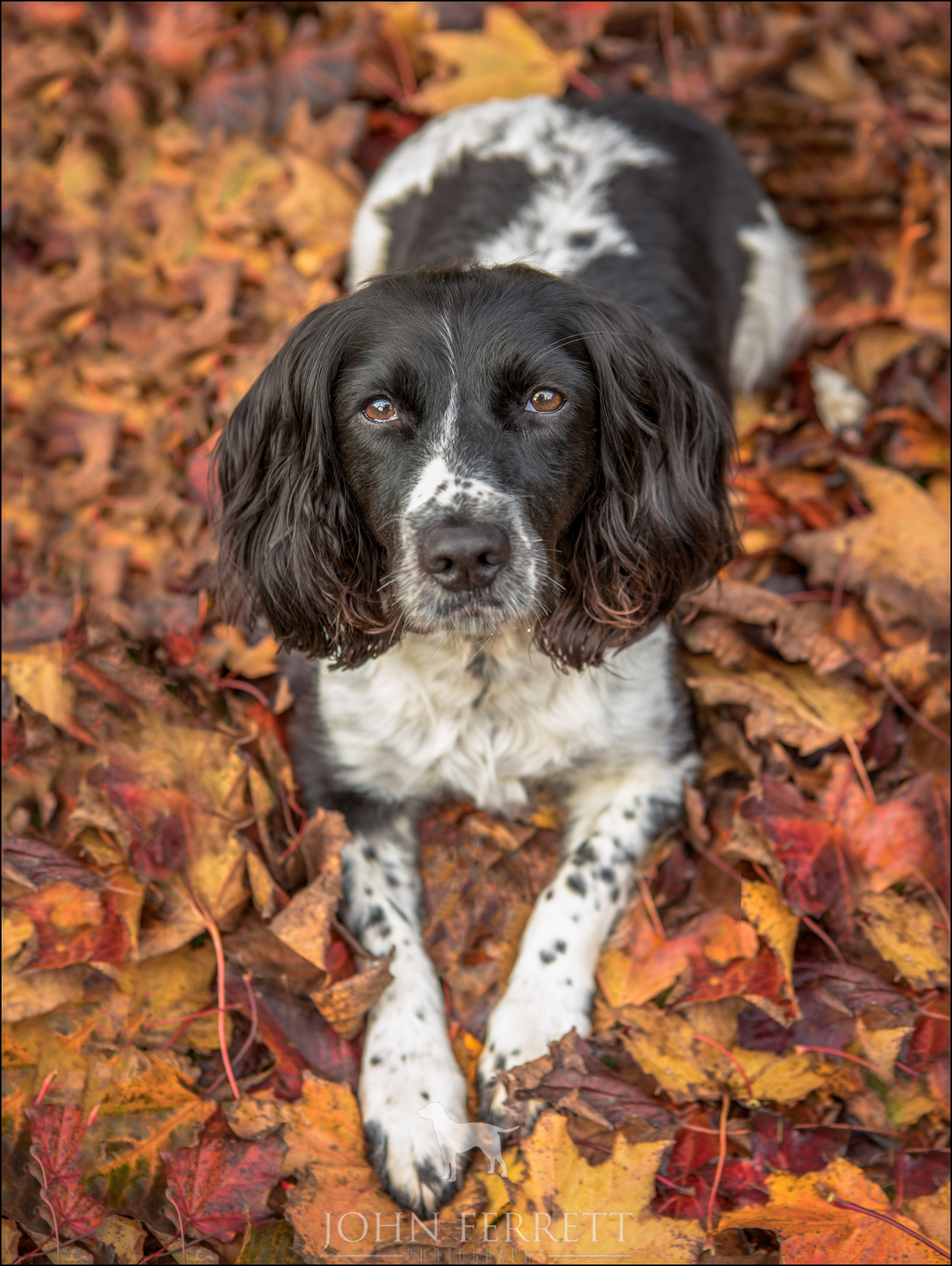 John Ferrett English Springer Spaniel Springer Spaniel Dog Photograph
