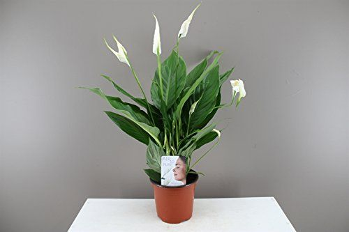 stunning house plants delivered. Shop now for eco friendly garden supplies and plants delivered right to  your doorstep Peace Lily Beautiful Easy Care flower Stunning foliag https
