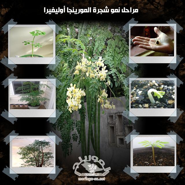 مراحل نمو شجرة المورينجا Table Decorations Decor Moringa