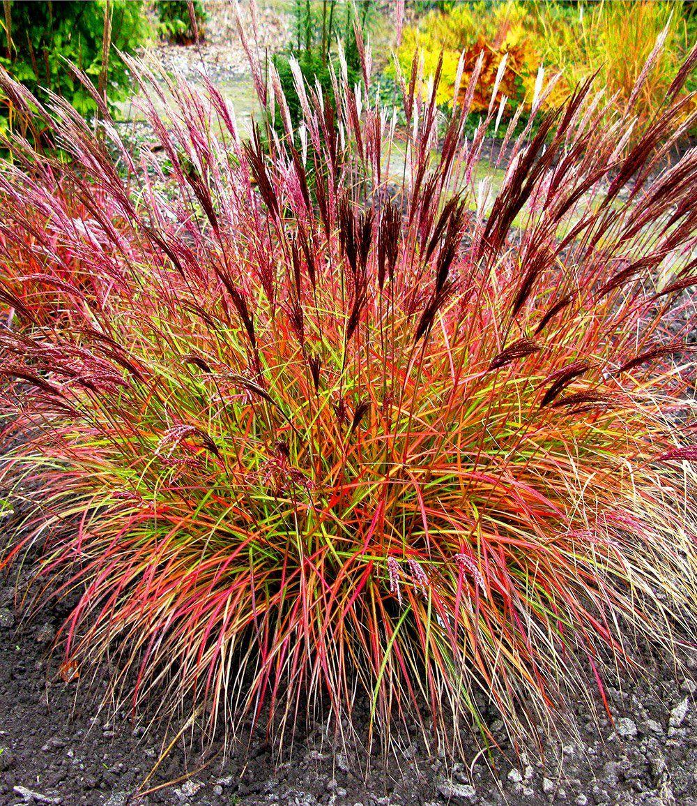 Chinaschilf Red Chief 1a Pflanzen Kaufen Baldur Garten Pflanzen Garten Bepflanzung